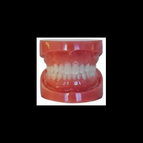 Typodont